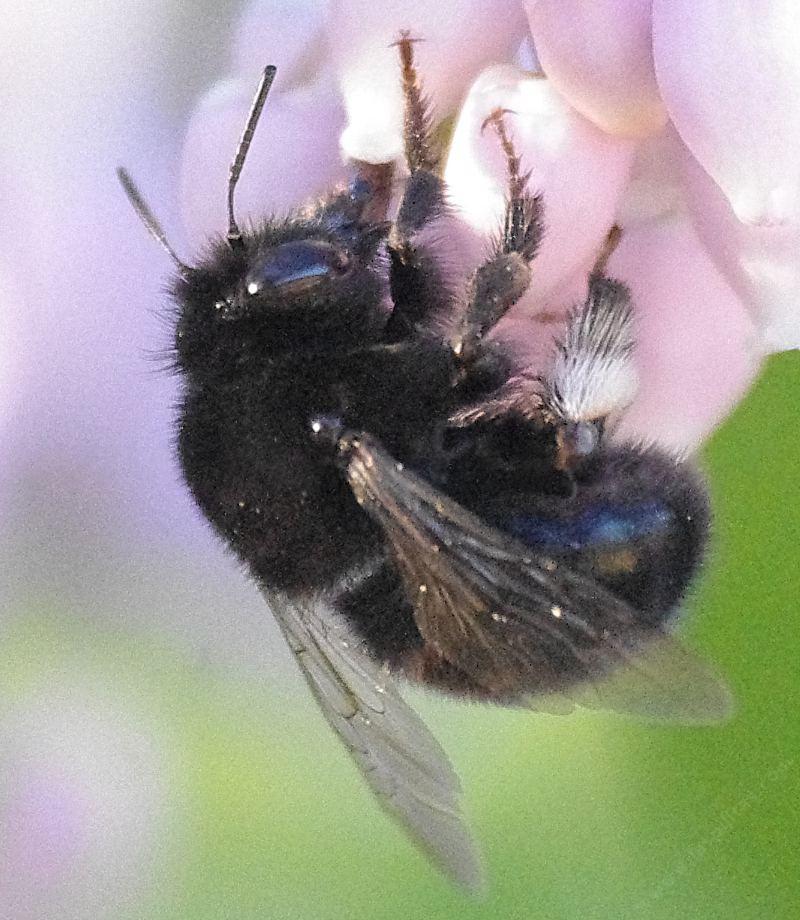 A Digger Bee Anthophora Pacifica On Arctostaphylos Ian Bush Manzanita