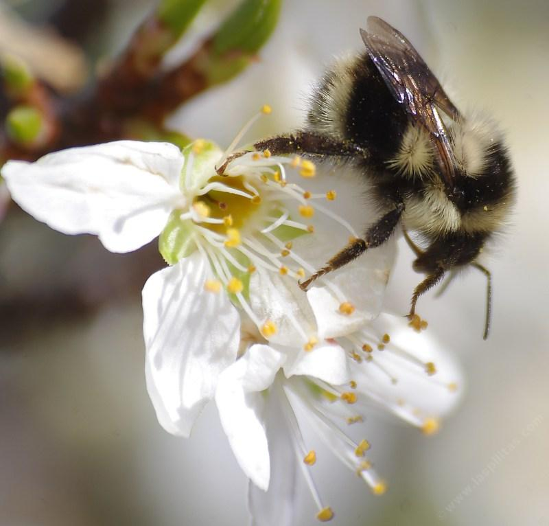 This Bombus melanopygus edwardsii was working a Plum flower. - grid24_24