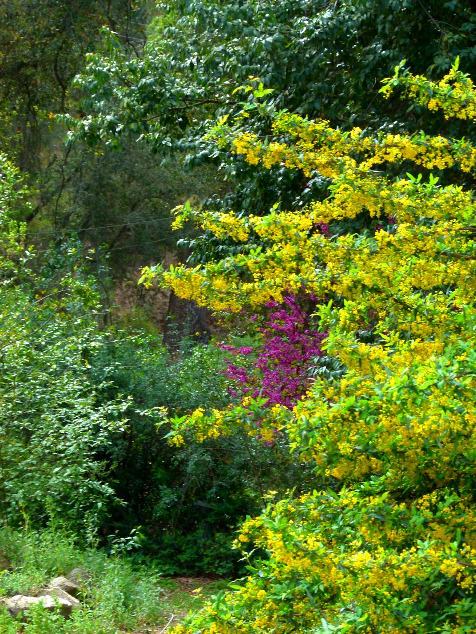 Ribes Aureum Gracillimum Golden Currant