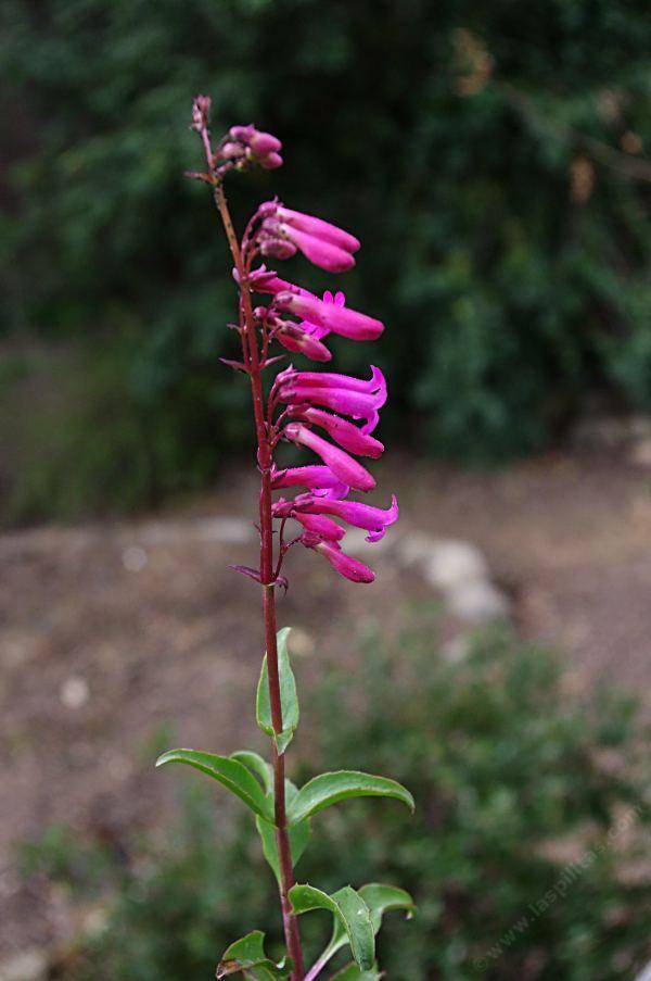 Penstemons For California Gardens