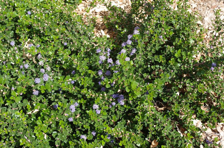 Ceanothus Prostratus Is A Moundy Ground Cover With Blue Flowers Grid24 6