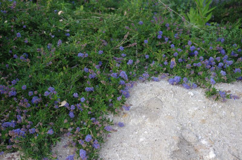 Ceanothus hearstiorum is actually quit nice little ground cover. These ground cover plants are about