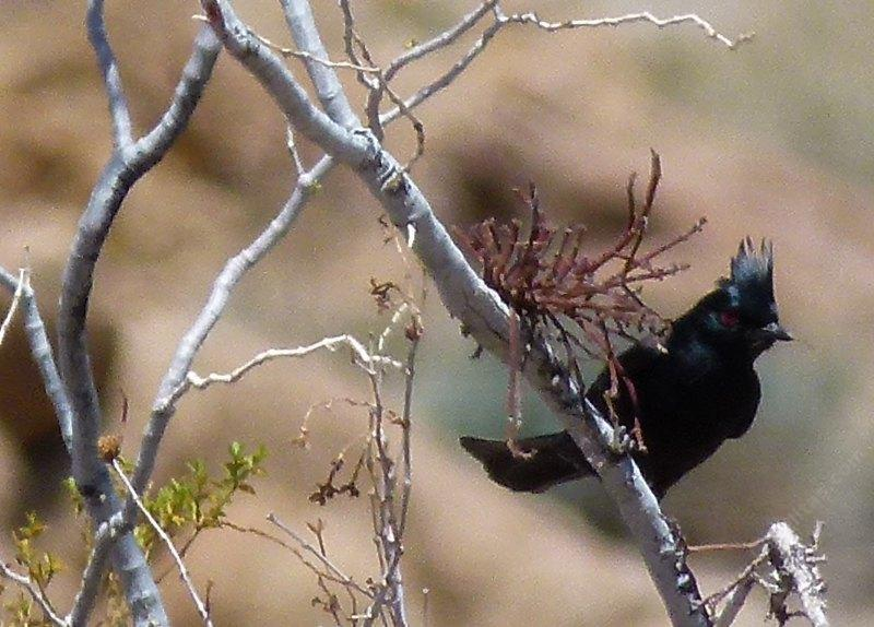 A Phainopepla checking for mistletoe berries - grid24_24