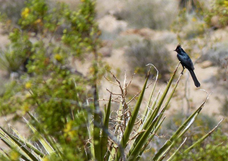 Phainopepla on a Yucca in Joshua Tree. - grid24_24