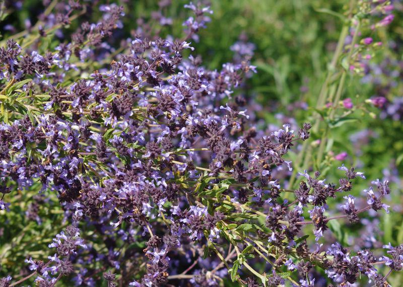 Sages Salvias Photos Videos And Descriptions Of The Plants Native