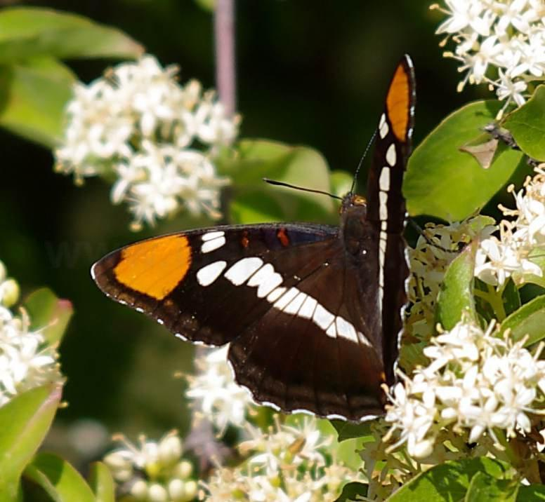 California Sister Butterfly, Adelpha Bredowii Californica On Cornus  Glabrata   Grid24_12