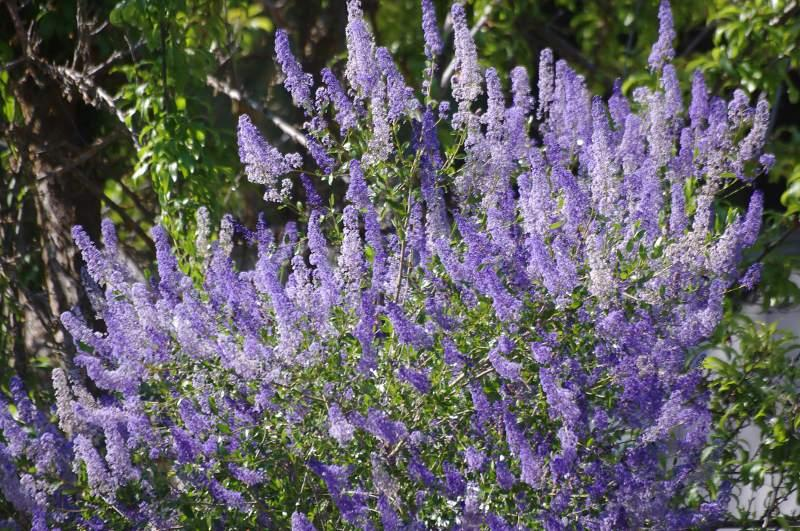 San Diego Mtn. Lilac, Ceanothus Cyaneus Grows Well In Coastal California In  Places Like