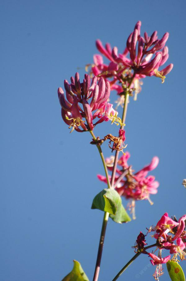 Lonicera Hispidula California Honeysuckle