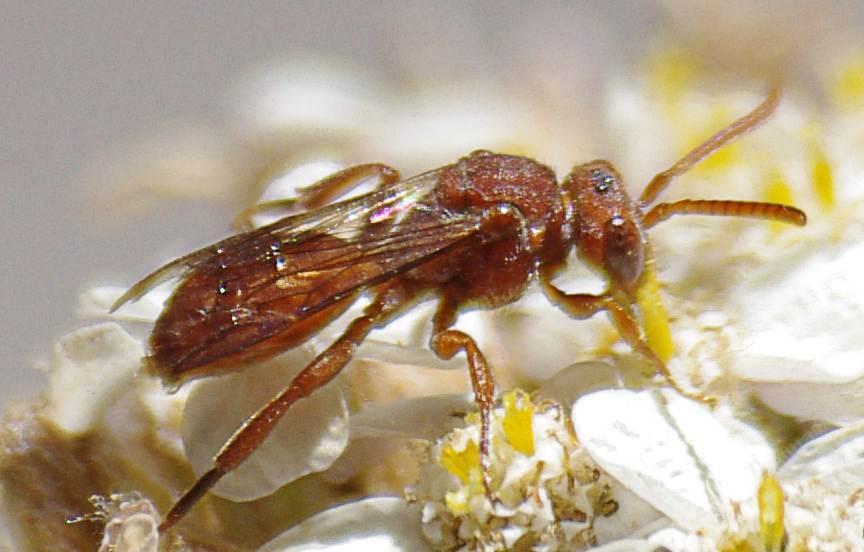 Cuckoo Bee Nomada Bees