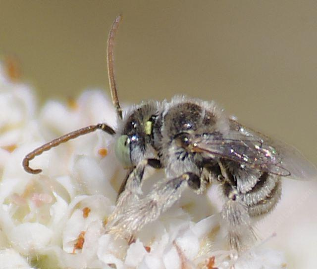 Anthophorula Is A Little Digger Bee Maybe 6mm 1 4 Inch Long