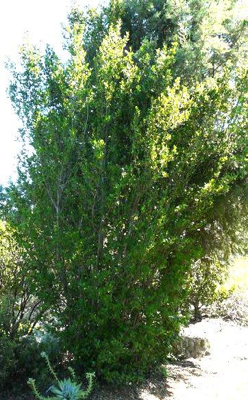 Cercocarpus Alnifolius Island Mountain Mahogany
