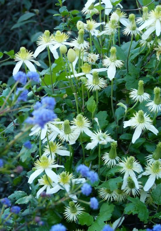 clematis lasthania climbing on ceanothus in the coastal valleys of santa barbara and los angeles - Vining Flowers