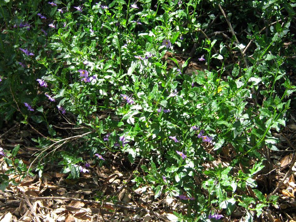 Solanum xanti hoffmannii, Hoffmann's Nightshade