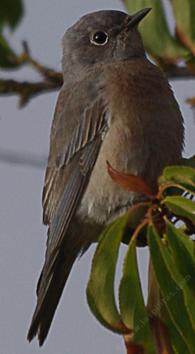 The Western Bluebird Likes Bugs Berries And Native Plants