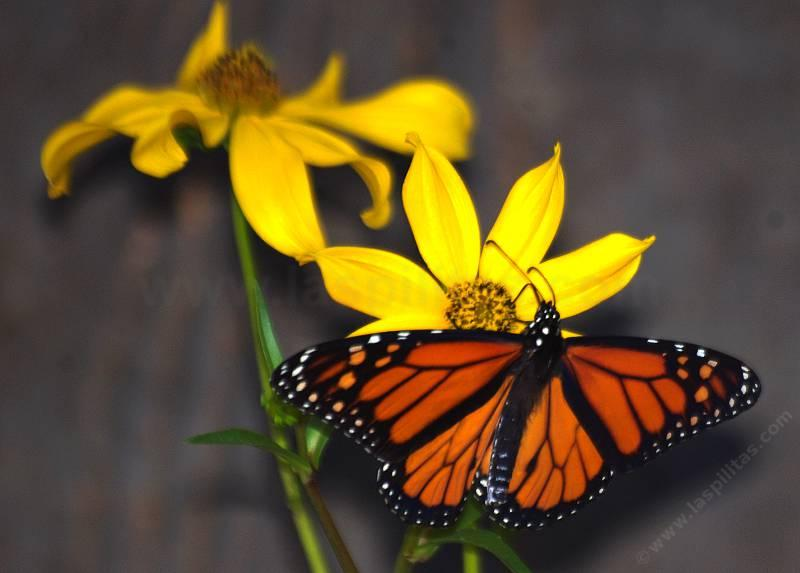 Monarch Erfly On A Bidens You Too Can Enjoy Native Plants Like This