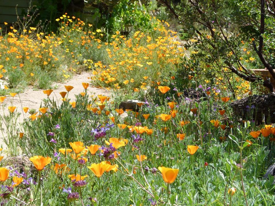 front-yard-poppies Native Wildflower Garden Designs on wild garden design, herb garden design, cactus garden design, organic garden design, sand design, gravel design, small garden design,