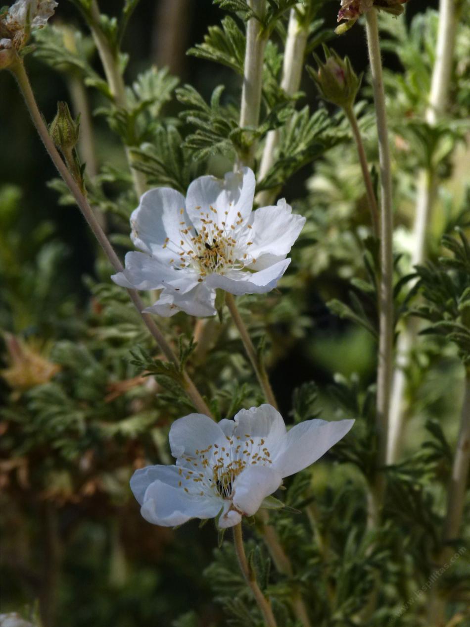 Garden Bush: Fallugia Paradoxa, Apache Plume