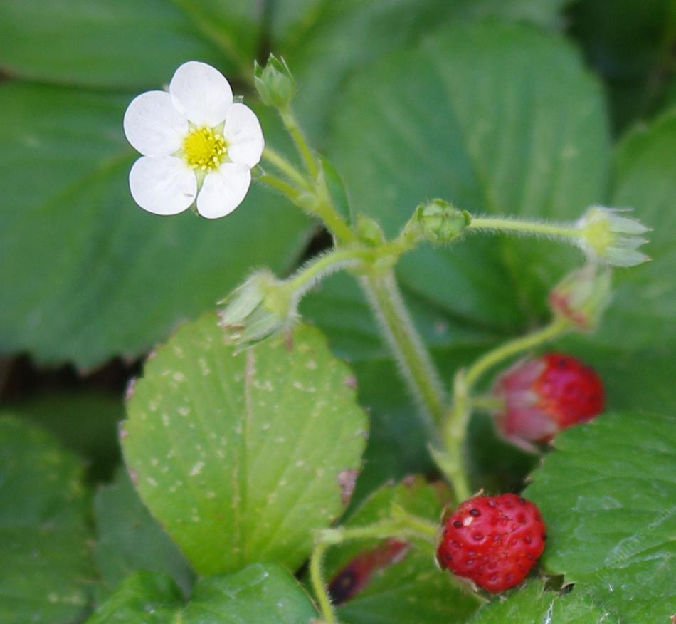 Fragaria chiloensis, Sand Strawberry