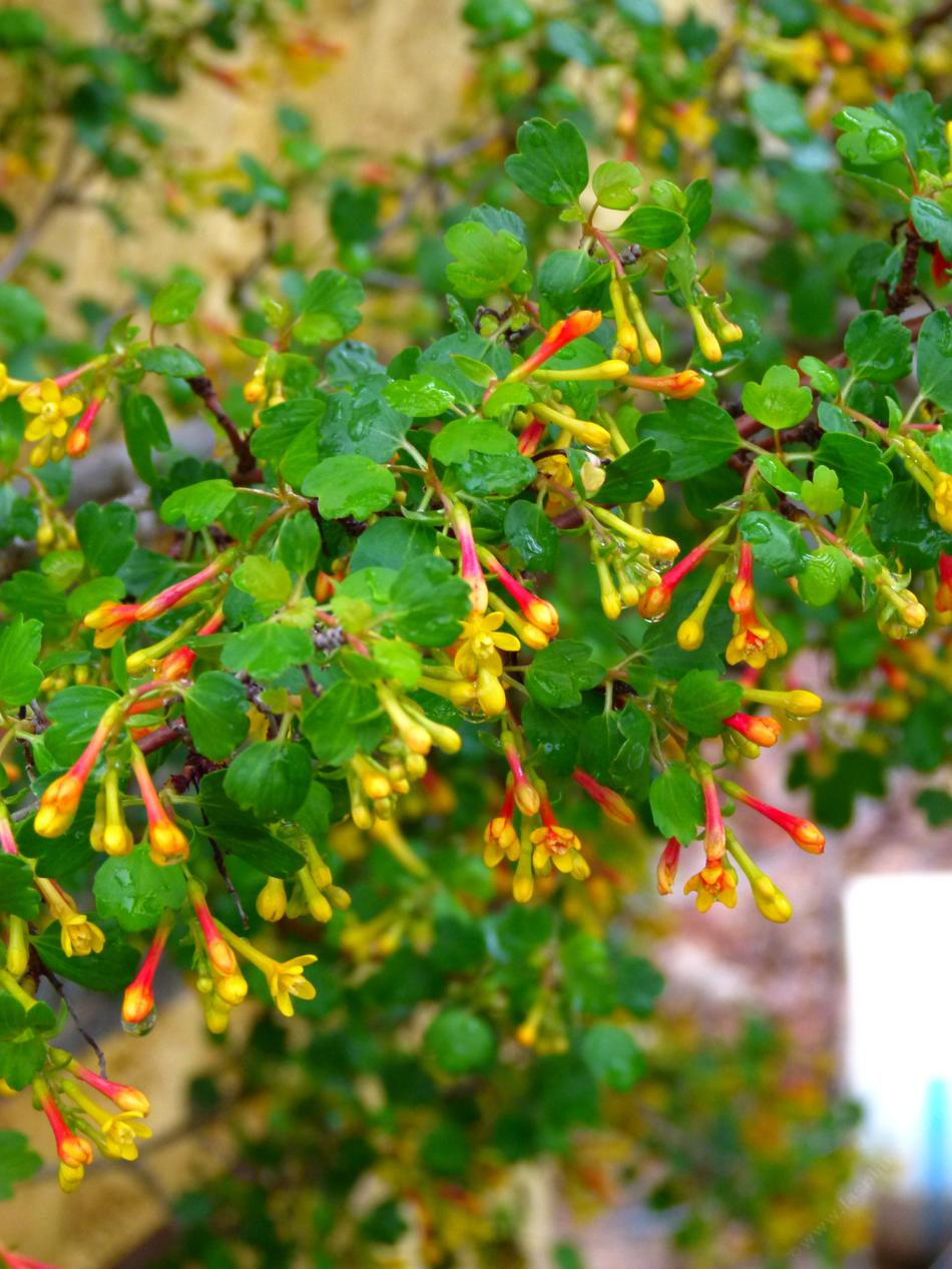 Ribes aureum gracillimum golden currant ribes aureum gracillimum golden currant berries and flowers for birds mightylinksfo