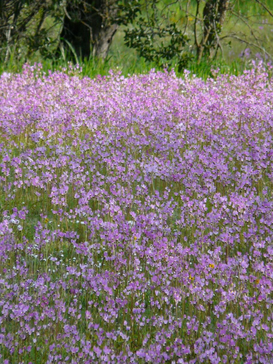http://www.laspilitas.com/images/grid24_24/11422/images/plants/dodecatheon/dodecatheon-clevelandii-field.jpg