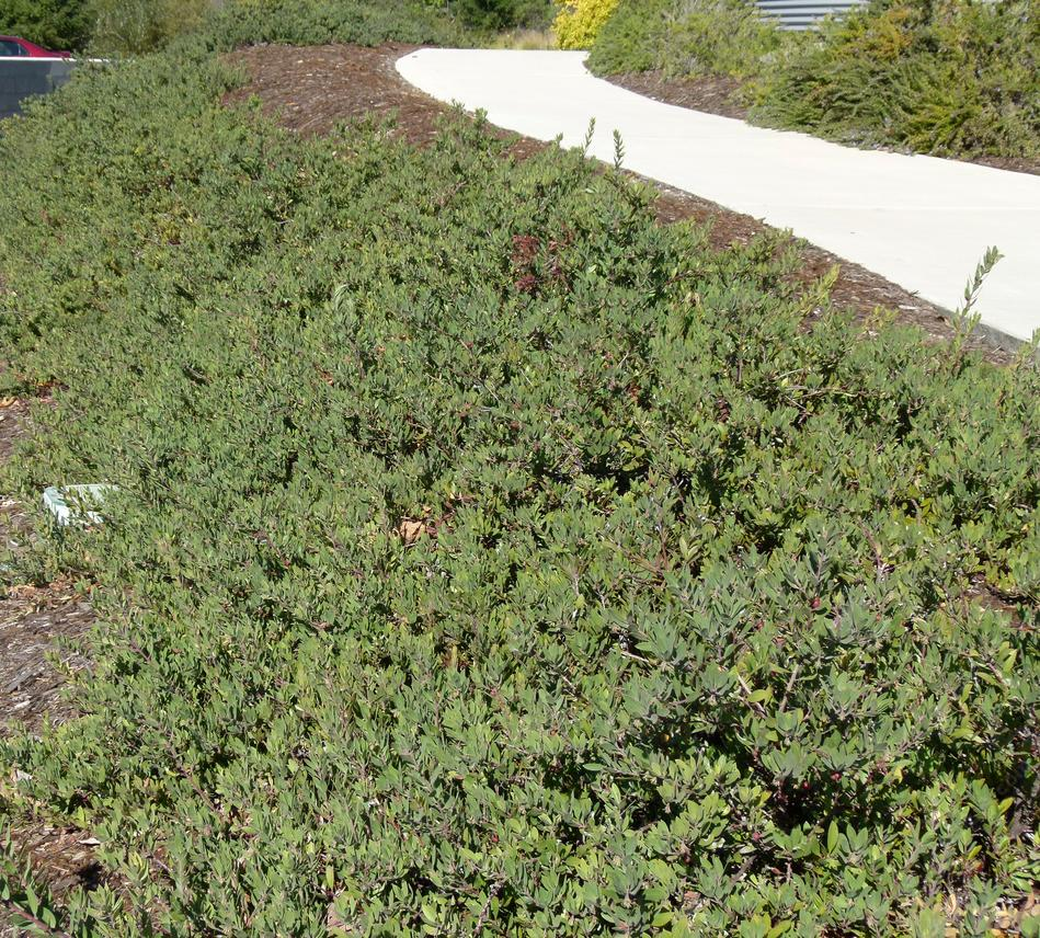 Arctostaphylos Pacific Mist Grows As A Relatively Flat Ground Cover With Gray Tinge Excellent