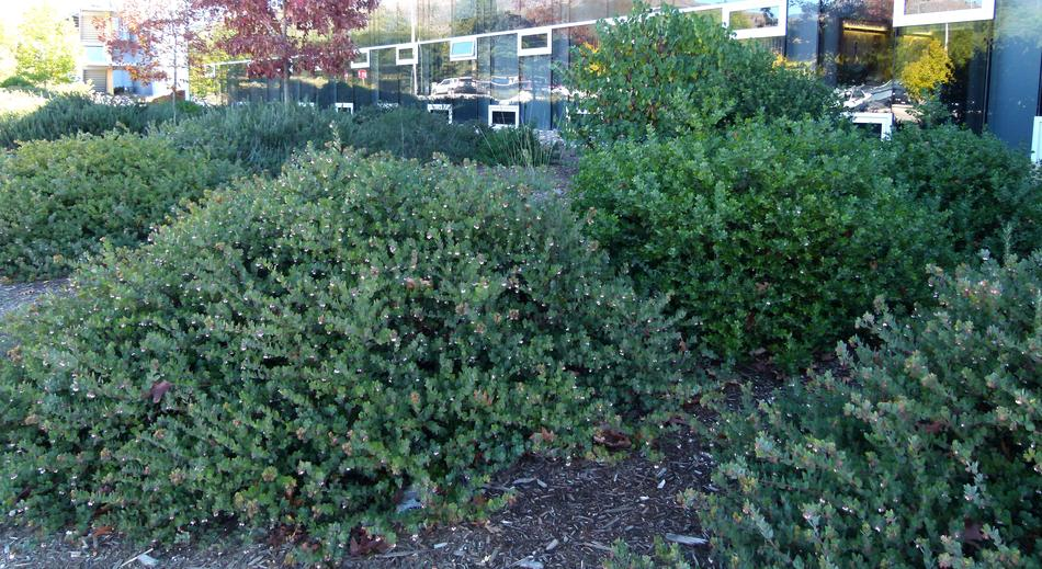 Arctostaphylos John Dourley As A Mounding Ground Cover Shown Here At Cal Poly San Luis