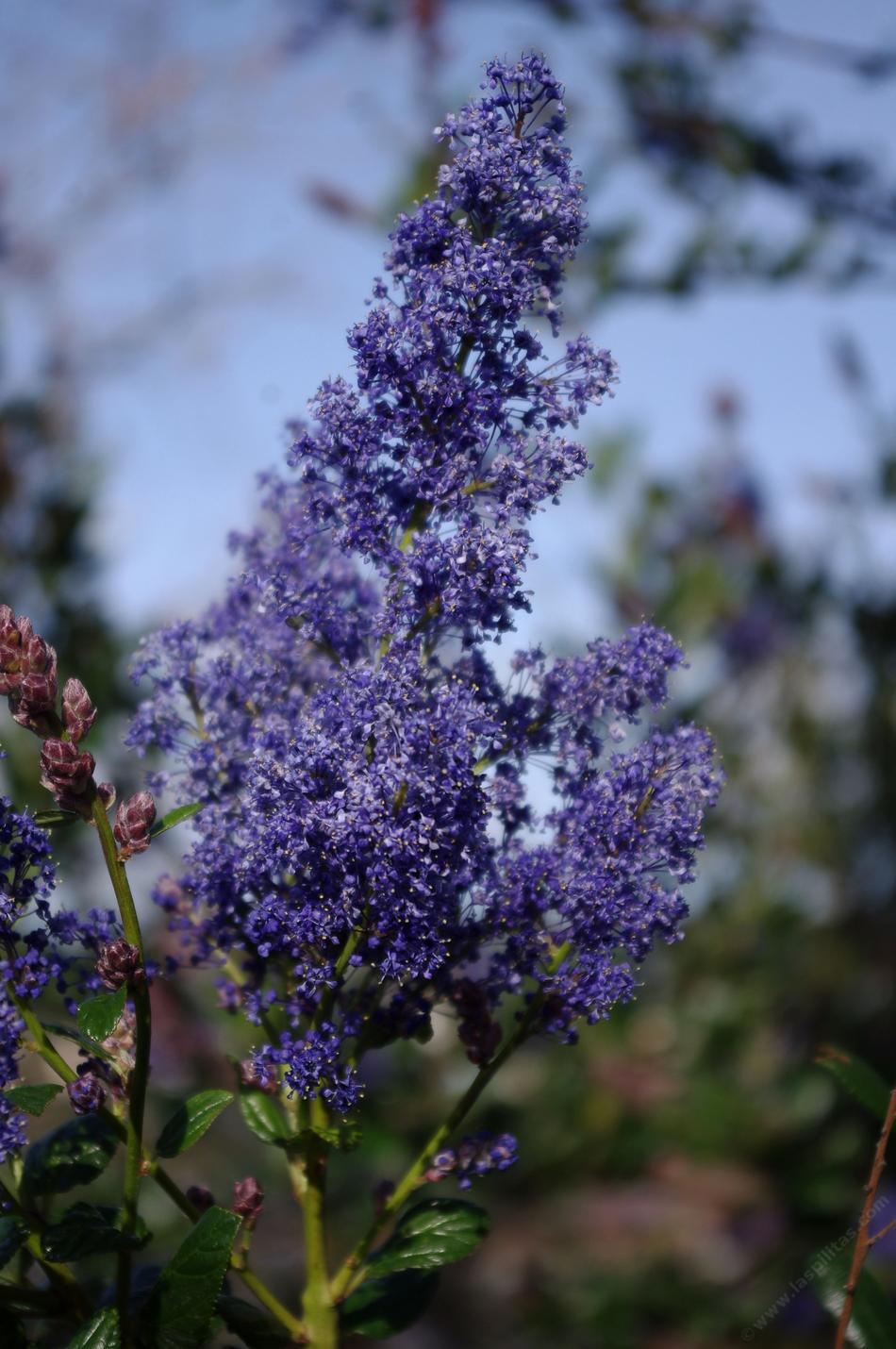 Ceanothus Ray Hartman Mountain Lilac
