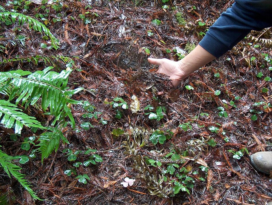 how to grow redwood sorrel