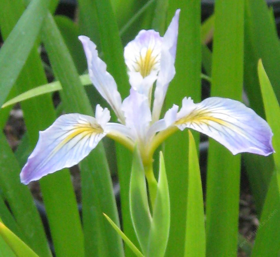 Iris Douglasiana Douglas Iris