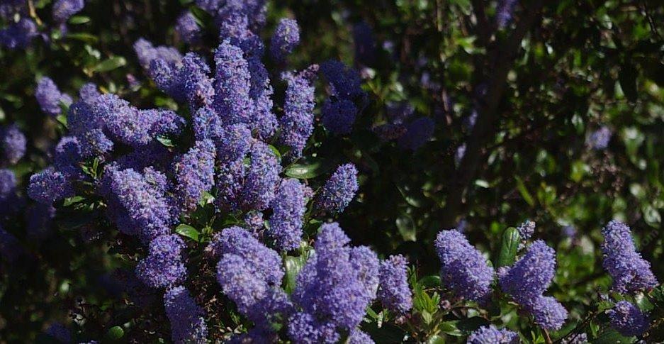 Ceanothus L T Blue Flowers