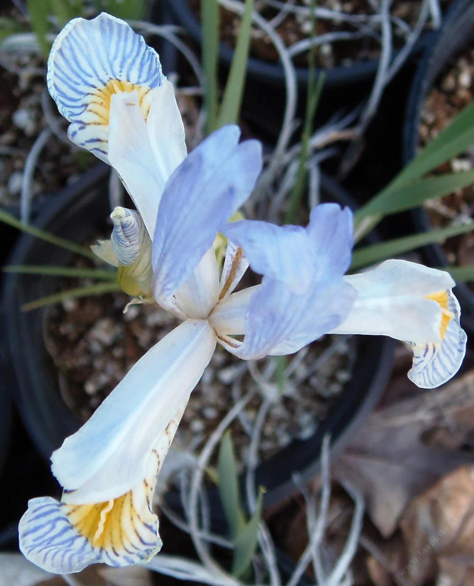Iris Missouriensis Western Blue Flag