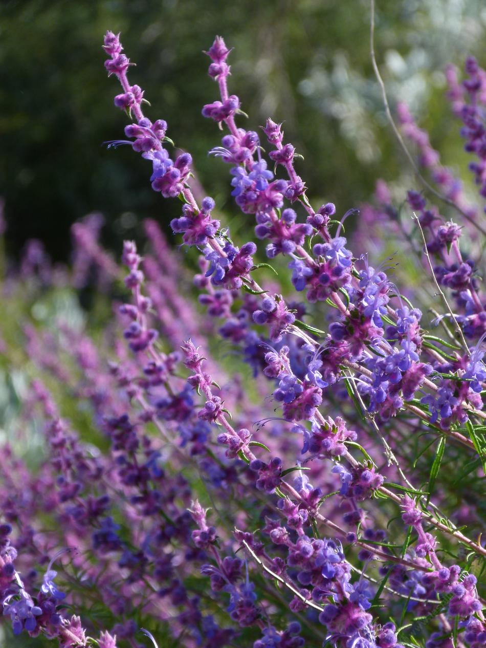 ... lavender. The leaves are intensely fragrant, and the plant isnoticed