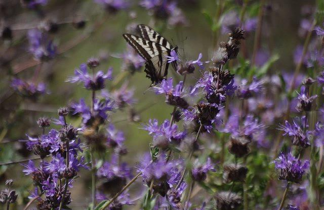 California Native Plant Garden Design native plant garden design native plant garden design california native plants cottage Salvia Pozo Blue With A Swallowtail Butterfly In The Garden At Santa Margarita Native Plant California Plant Communities And Designing