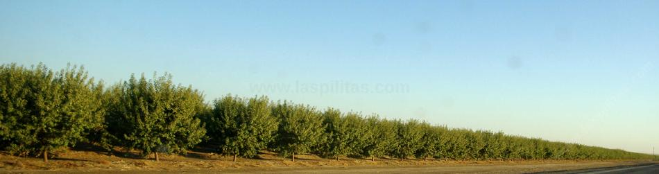 An orchard in the San Joaquin Valley. - grid24_24