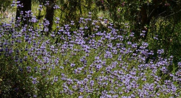 The fragrant garden a word on the fragrance of california native the alpine form of salvia clevelandii is big fragrant and blue birds hummingbirds mightylinksfo