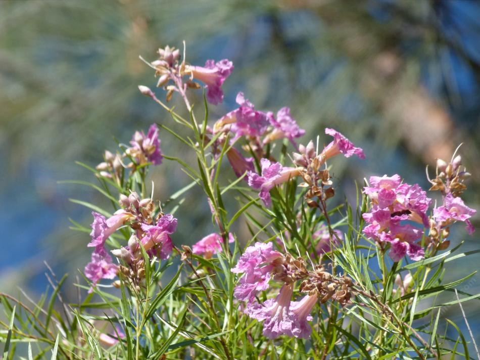 Chilopsis linearis desert willow mightylinksfo