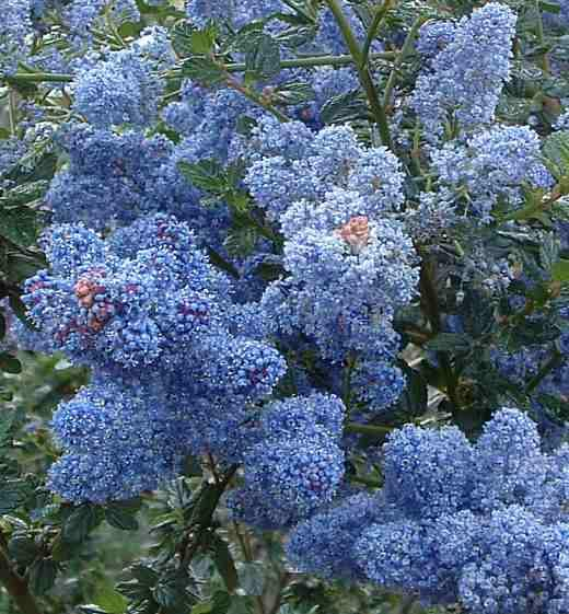 Here are some of the native plants we 39 ve introduced over for Blue flowering bush