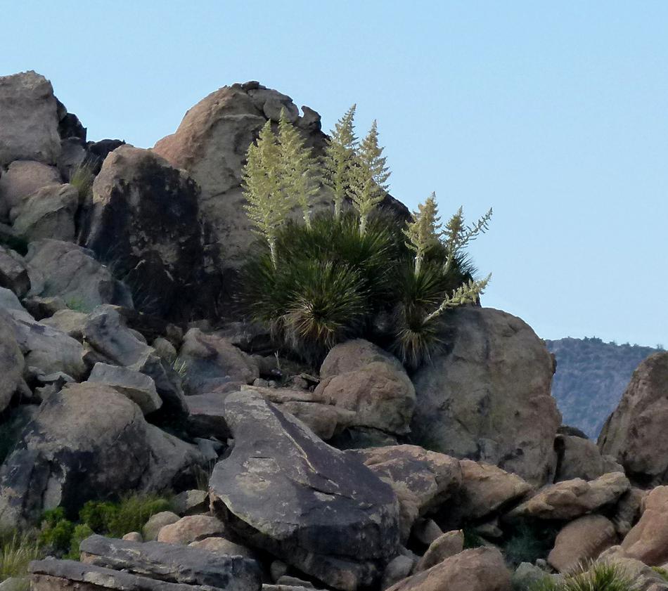 Mojave Desert Native Plants: Yucca Schidigera, Mojave Yucca