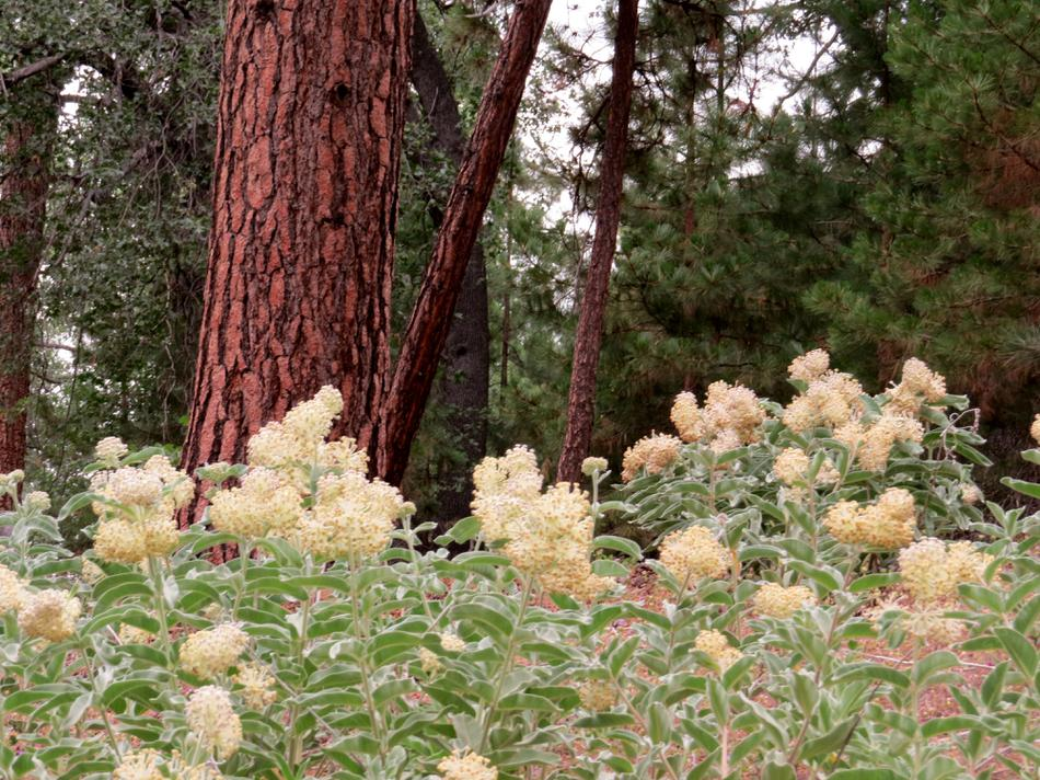 Asclepias Eriocarpa, Monarch Milkweed Under Ponderosa Pines In The Southern  Sierras.