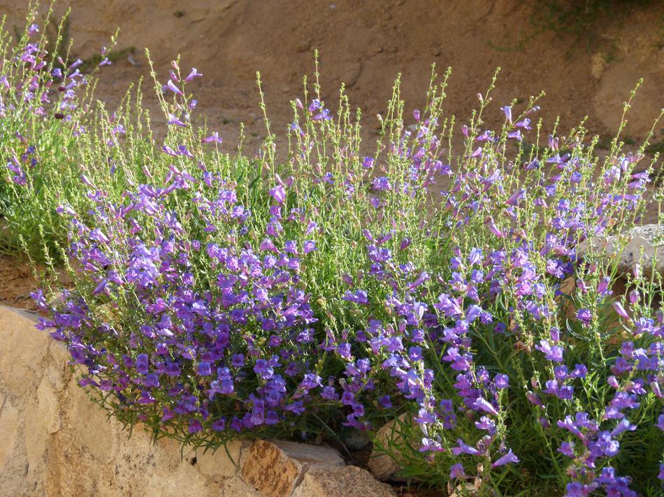 Penstemon margarita bop foothill or mountain penstemon for Purple flower shrub california