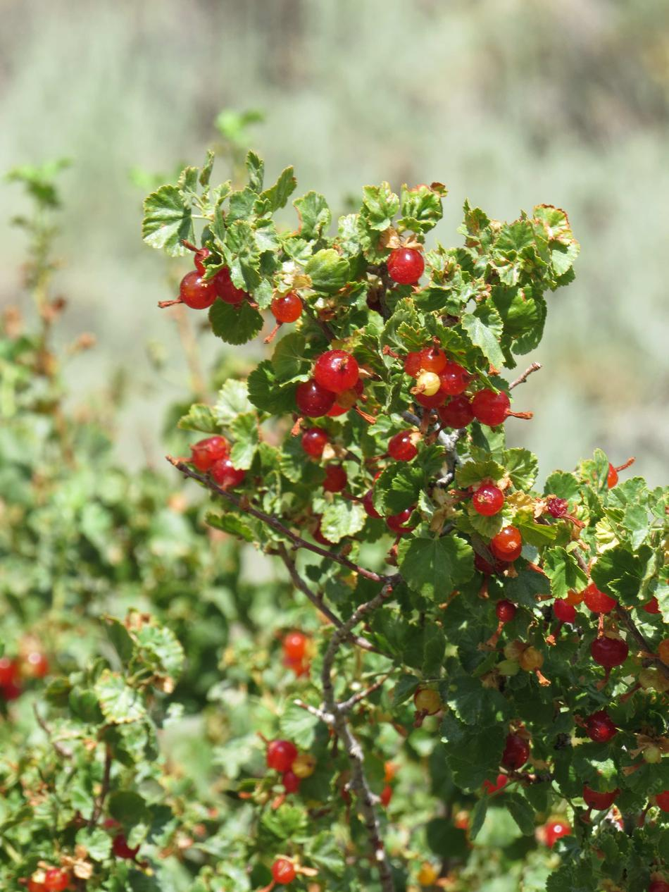 Ribes Cereum Wax Currant