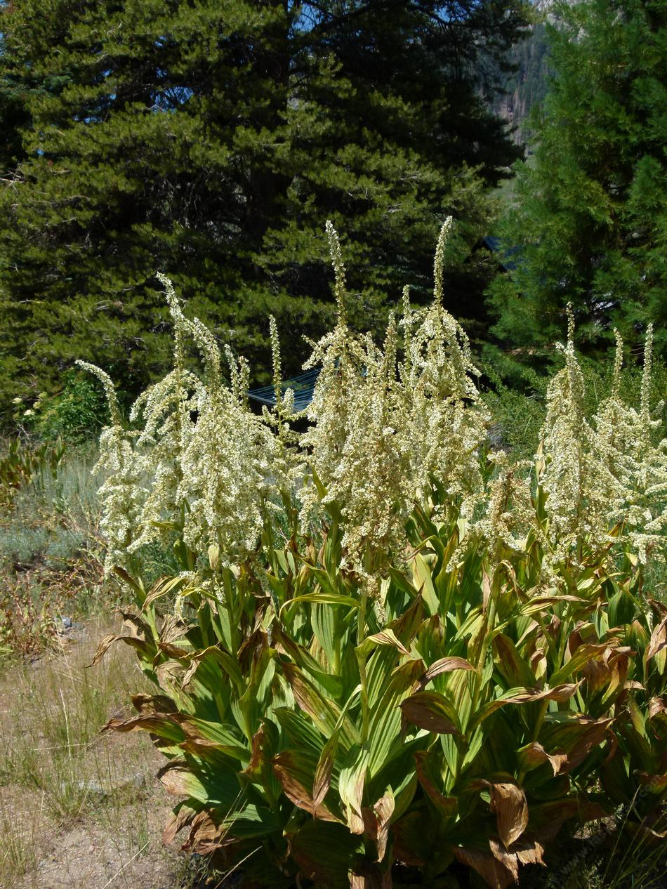 Veratrum californicum california corn lily corn lily looks like a corn plant with funny flowers on top mid izmirmasajfo