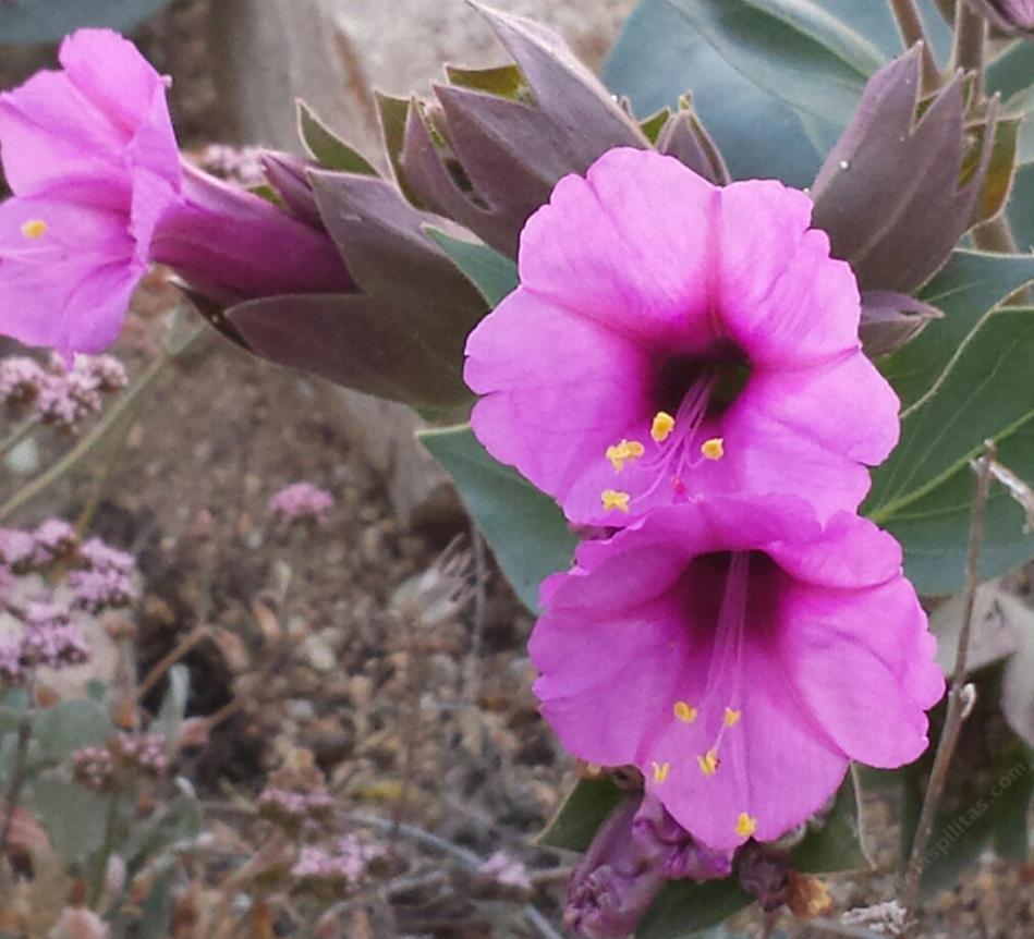Mirabilis Multiflora Froebels Four Oclock