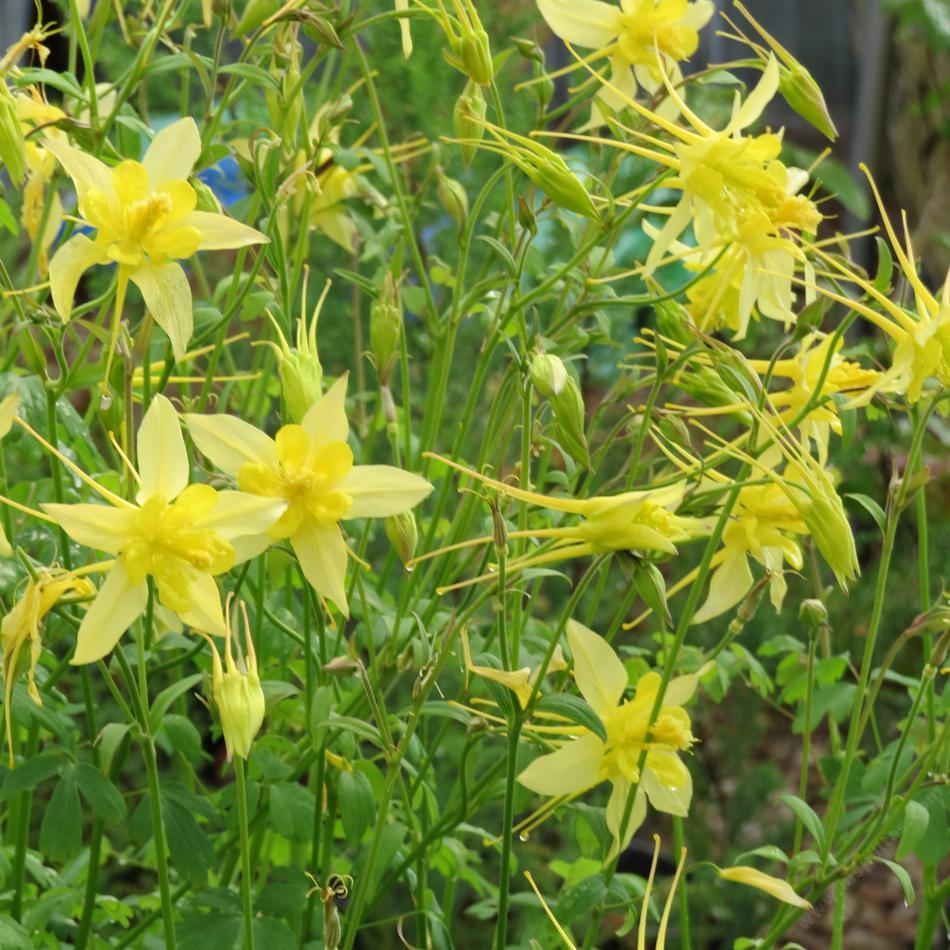 Aquilegia pubescens sierra columbine aquelegia pubescens sierra columbine mightylinksfo