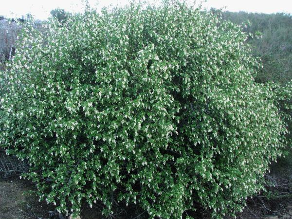 home depot g trees with 579 Ribes Indecorum on Ysearch2013 furthermore Allen Roth 24 In Tan Outdoor Wall Mounted Light g1193682 as well Search additionally 181599261677 also B000rnenu8.