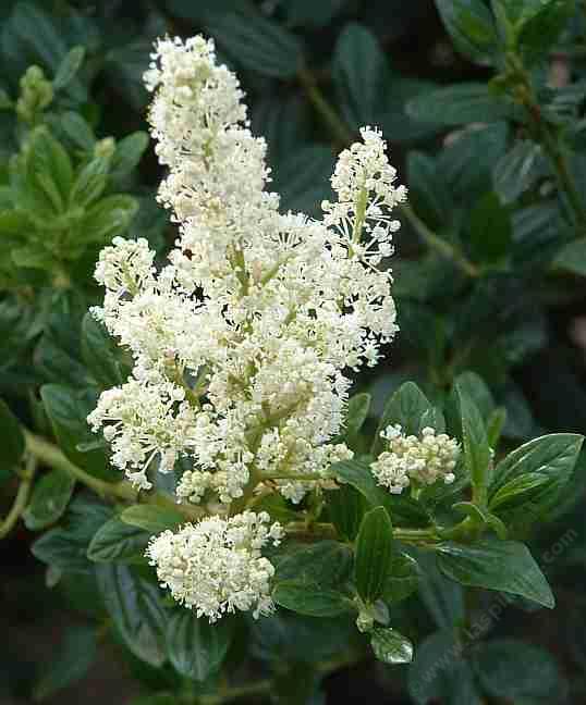 Ceanothus Snowflurry Has A White Flower On Medium Size Dark Green Bush