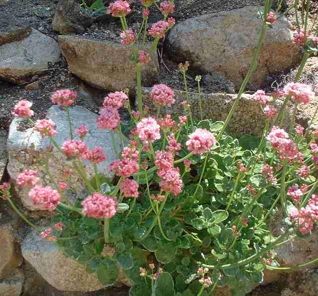 Eriogonum Grande Rubescens Red Buckwheat In A Rock Wall