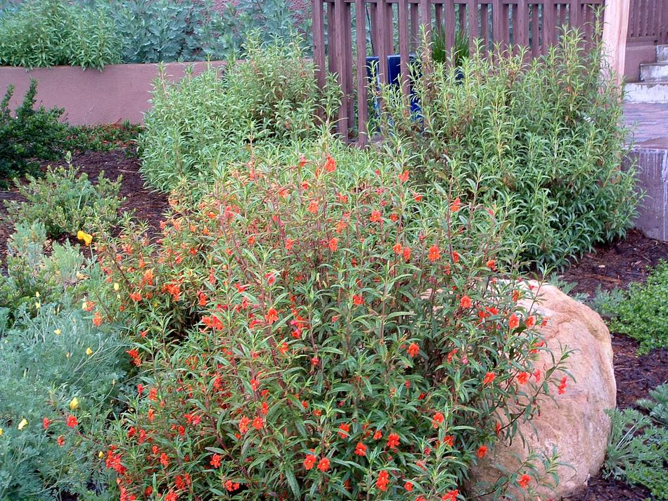 Diplacus puniceus red monkey flower for Gardens in southern california
