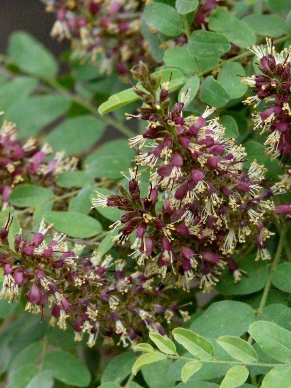 Amorpha Californica, California False Indigo Bush Flowers   Grid24_12