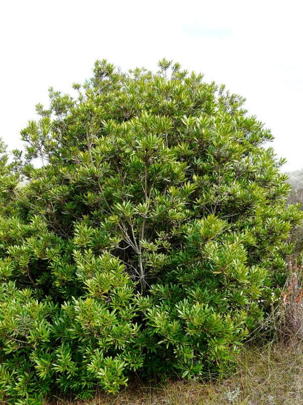 Picture of Live Pacific Wax Myrtle aka Myrica californica Shrubs Plant Fit 5 Gallon Pot